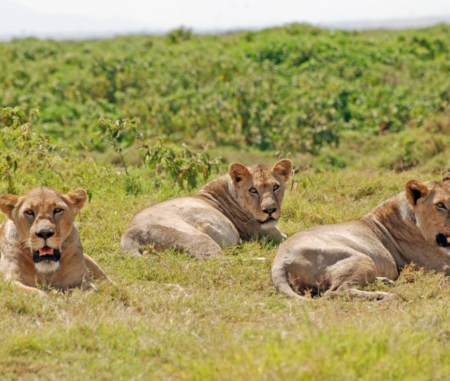 African Lions Were All Considered To Belong To A Single Subspecies But New Research Refutes That