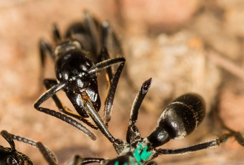 Foraging Ants Find A Blueberry New Research Suggests Use Pheromones To Differentiate Among Each Other And Between Themselves Foreign Colony