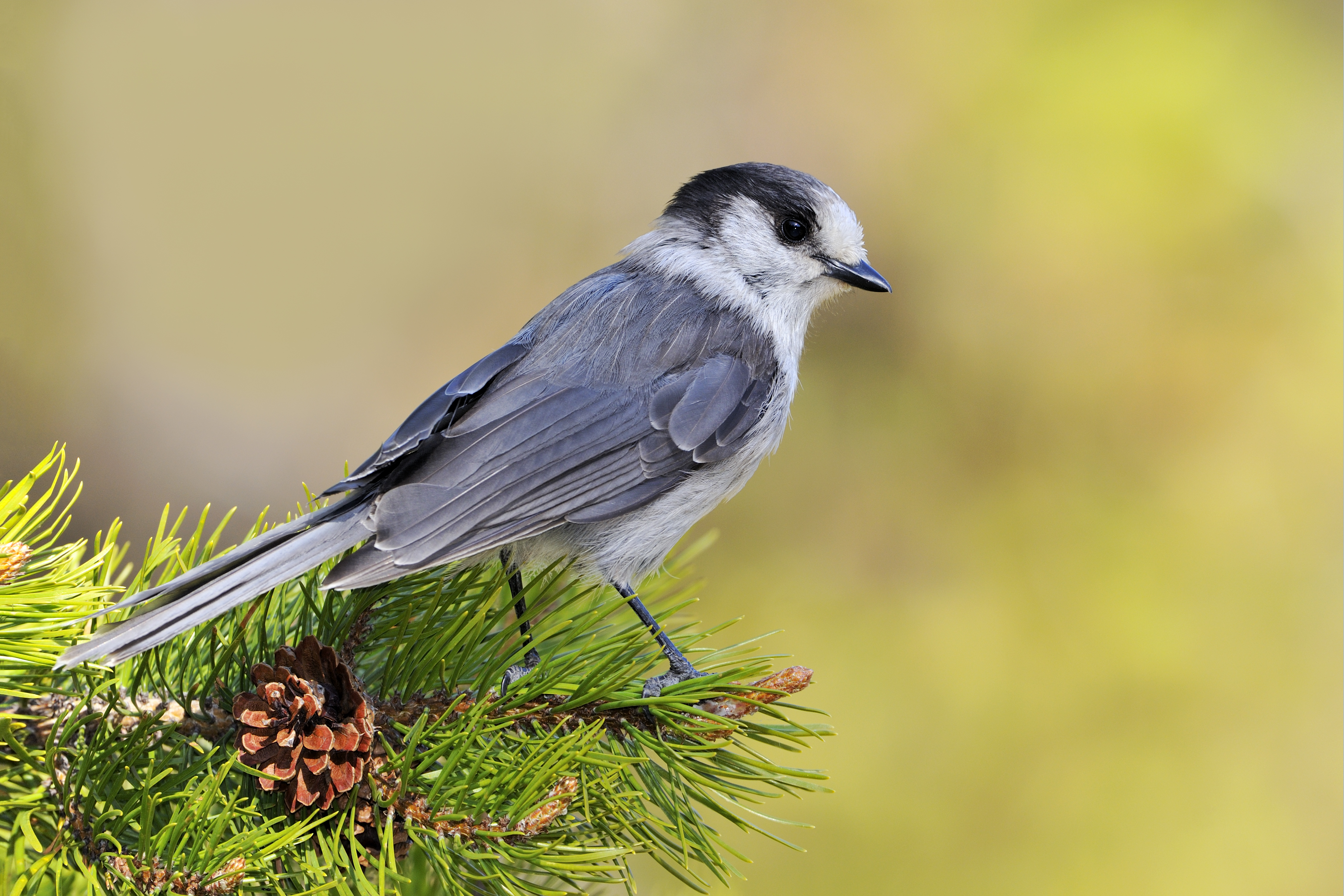 Oh Canada The Canada Jay Gets Its Name Back In Time For The Holiday