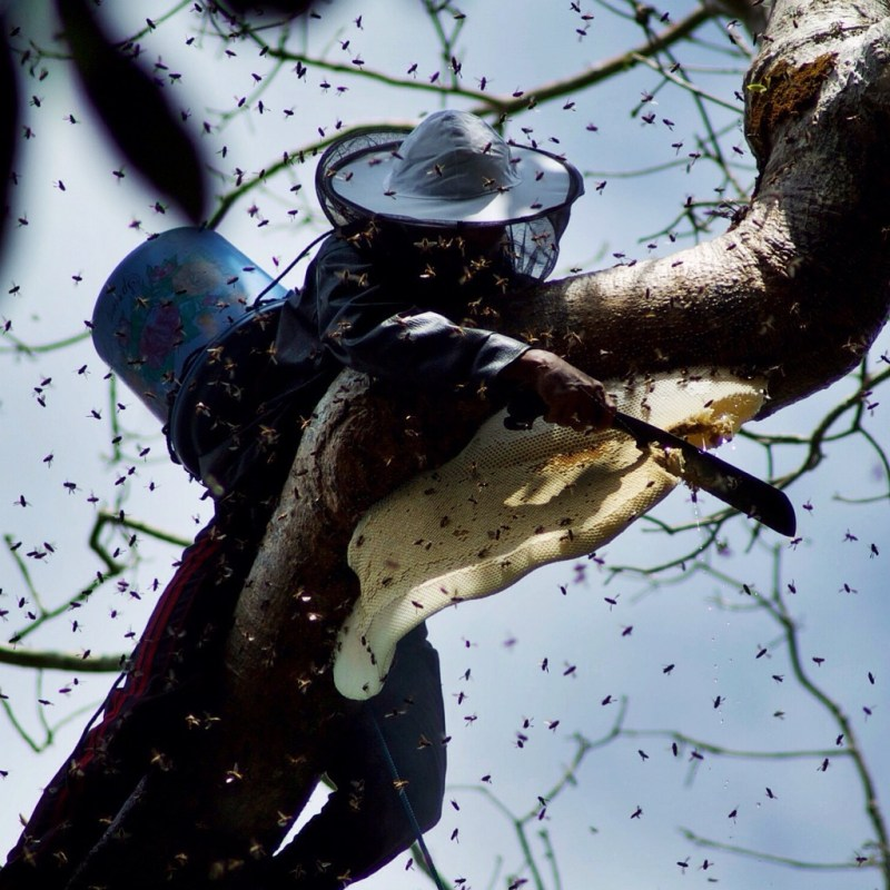 Beekeeper cuts honeycomb from tree branch
