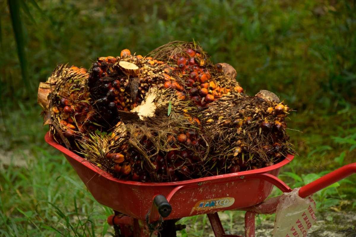 Tumpukan buah sawit dalam gerobak dorong.