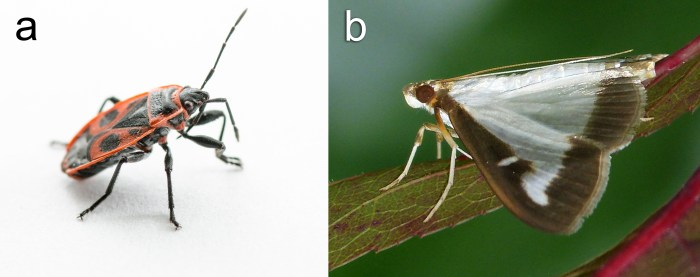 The European Firebug (Pyrrhocoris apterus) and Box Tree Moth (Cydalima perspectalis)