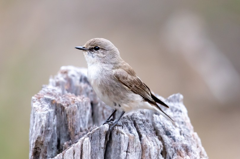 Jacky winter, a small, pale-coloured bird is perched on a white log.