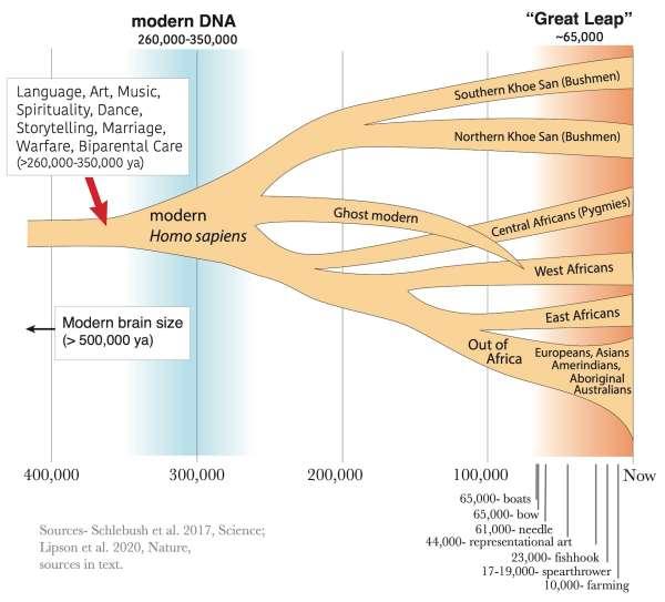 Tree diagram showing human evolution.