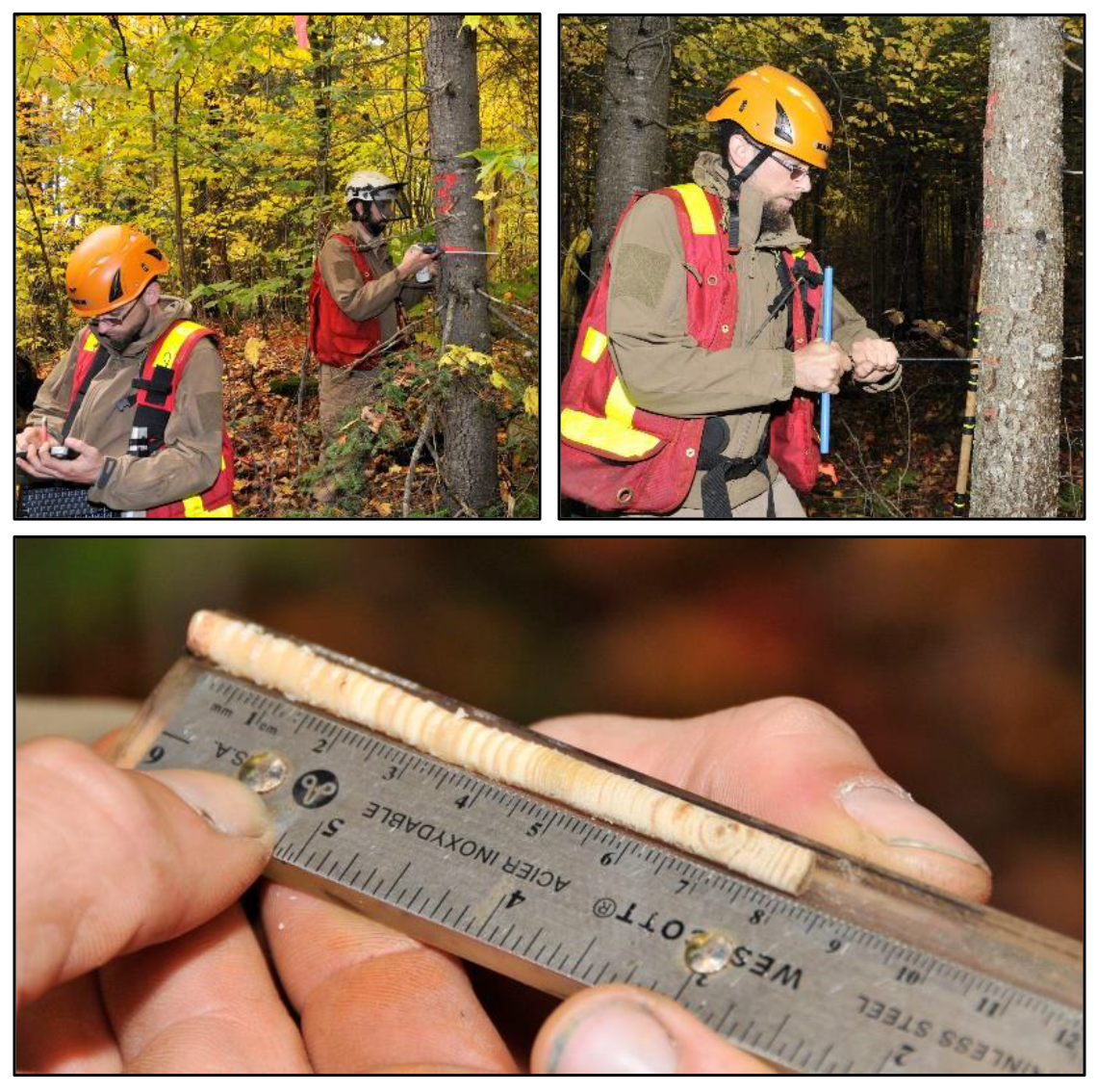 Scientists in hard hats measure trees.