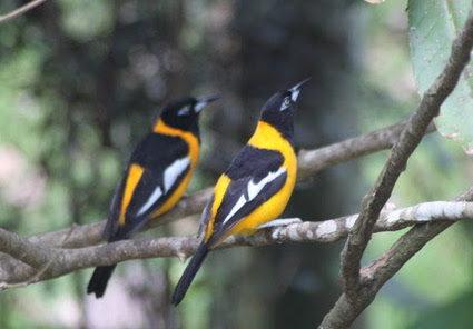 Pair of Venezuelan troupials