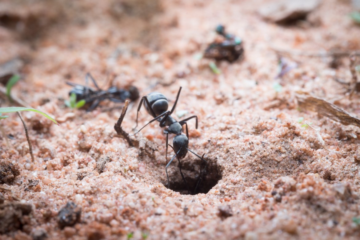 An ant climbs down a hole in sandy soil