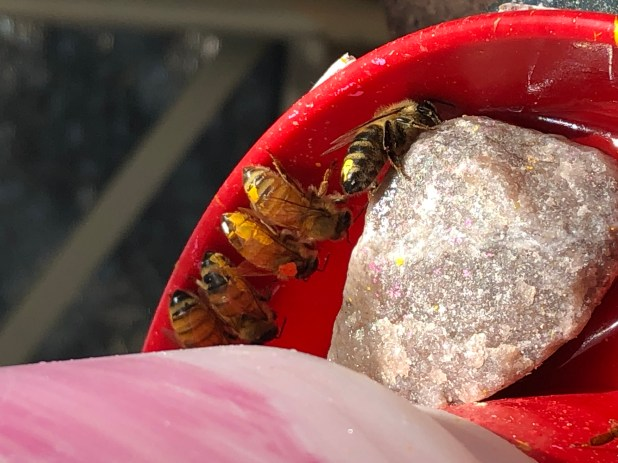 Five bees perched on the edge of a red feeder, sipping nectar.