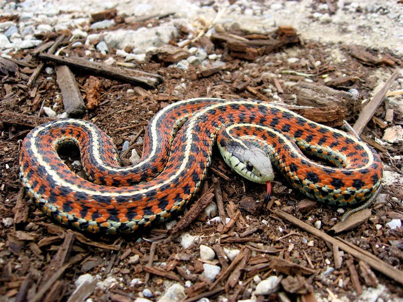 A black and red garter snake.