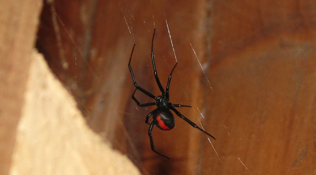 Some things to know about the redback spider antivenom