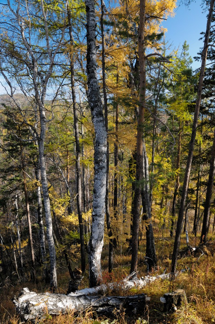 Forest with birches and evergreen trees.