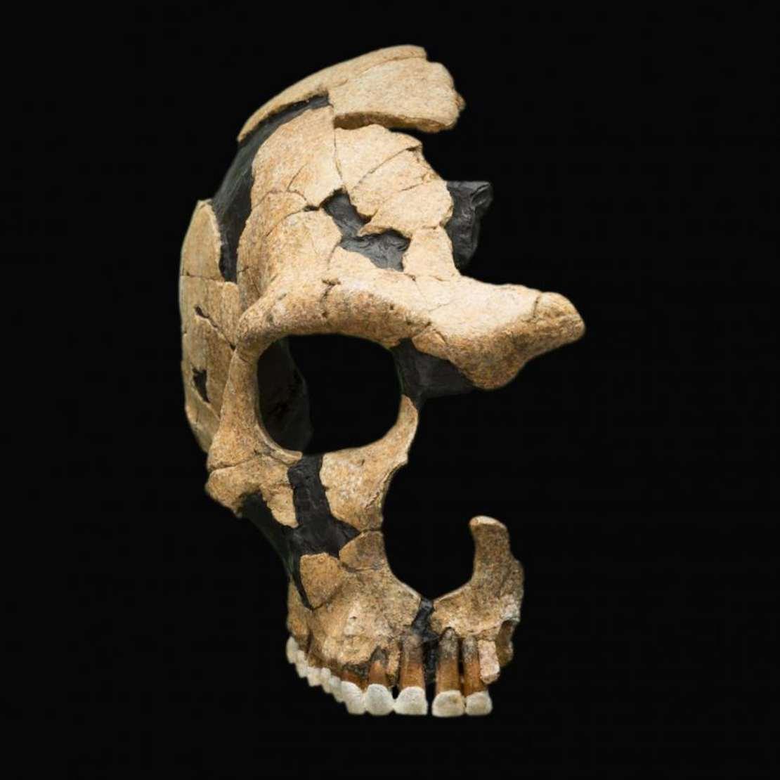 Damaged Neanderthal skull.