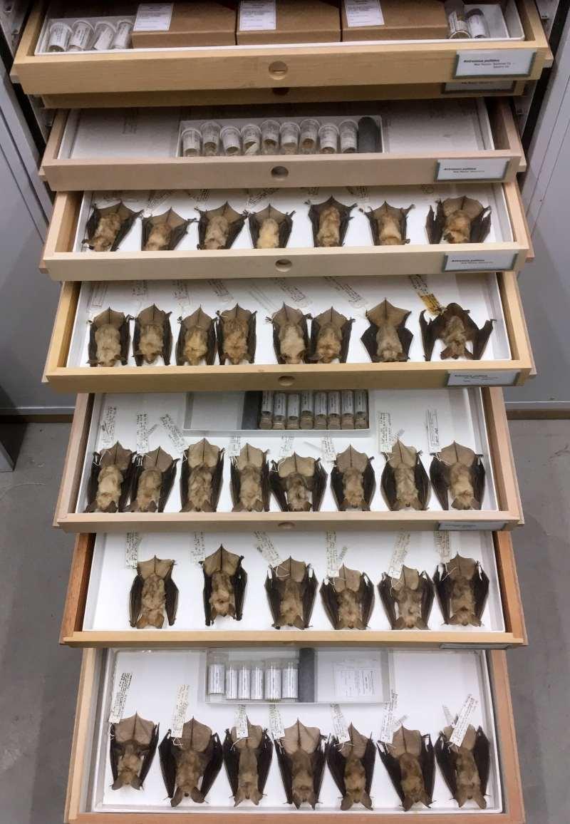 bat specimens in drawers