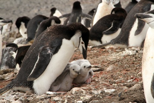 Chinstrap penguins on Deception Island