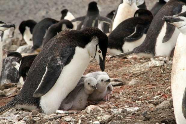 Chinstrap penguins on Deception Island