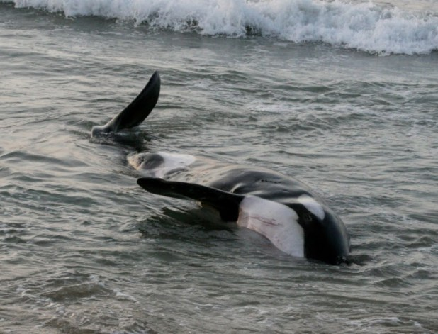 A dead killer whale lies on her side in shallow water.