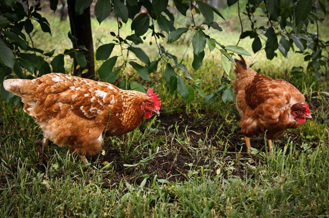 Hens in the garden.