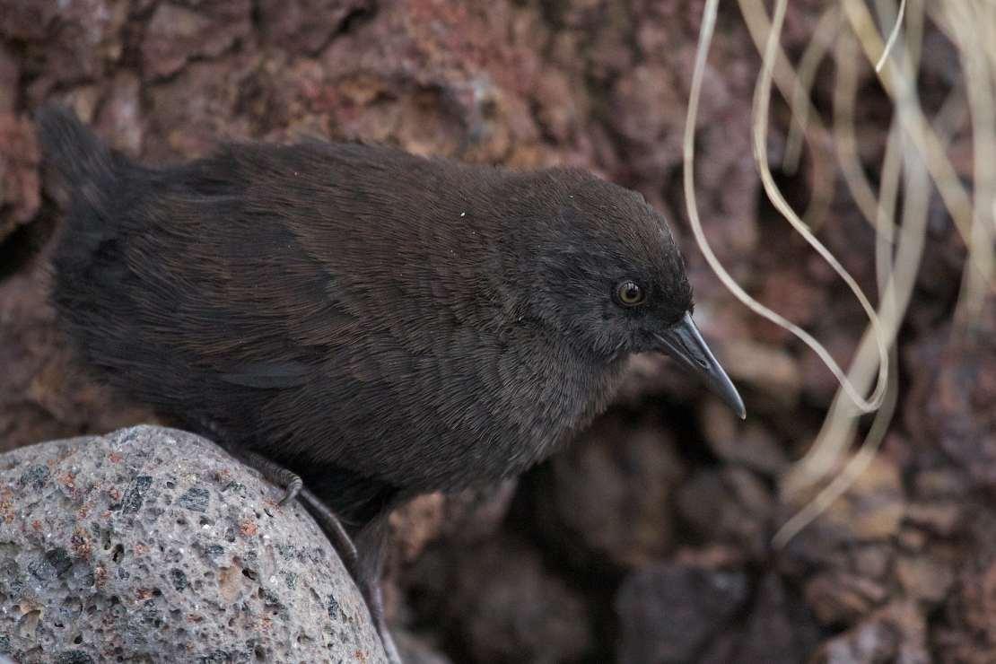 A small dark brown bird sits on a rock.