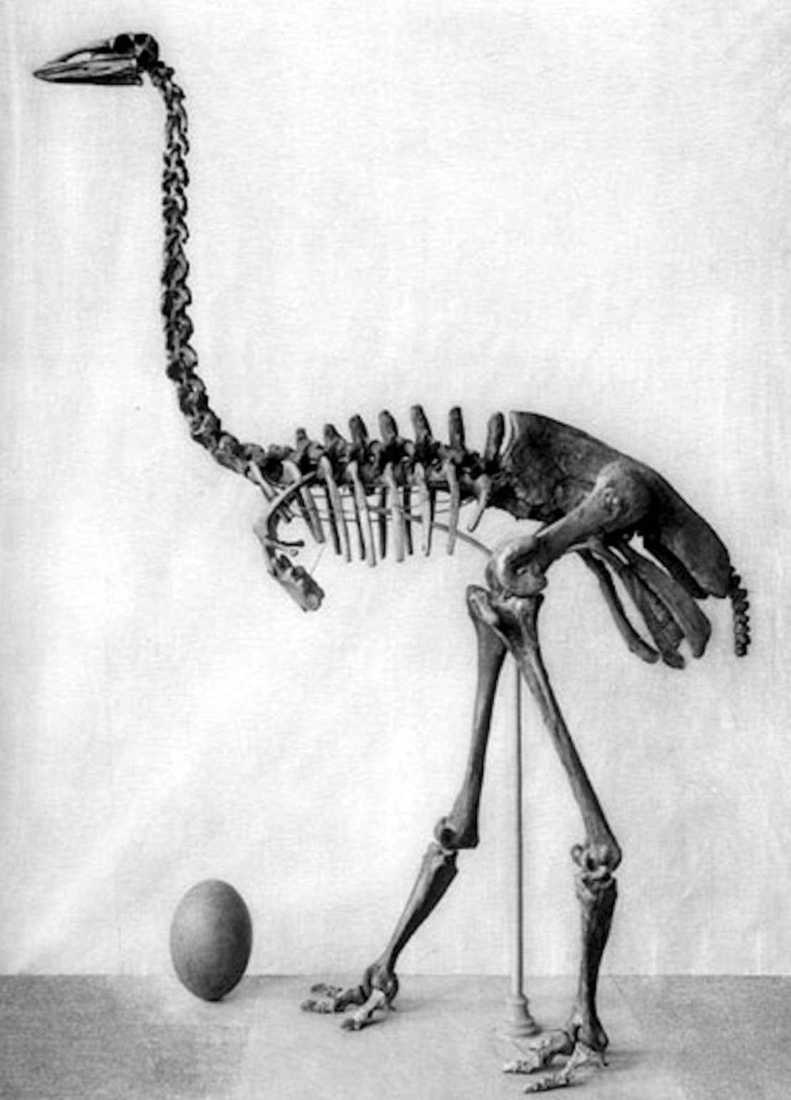 Skeleton of a large bird, black and white image