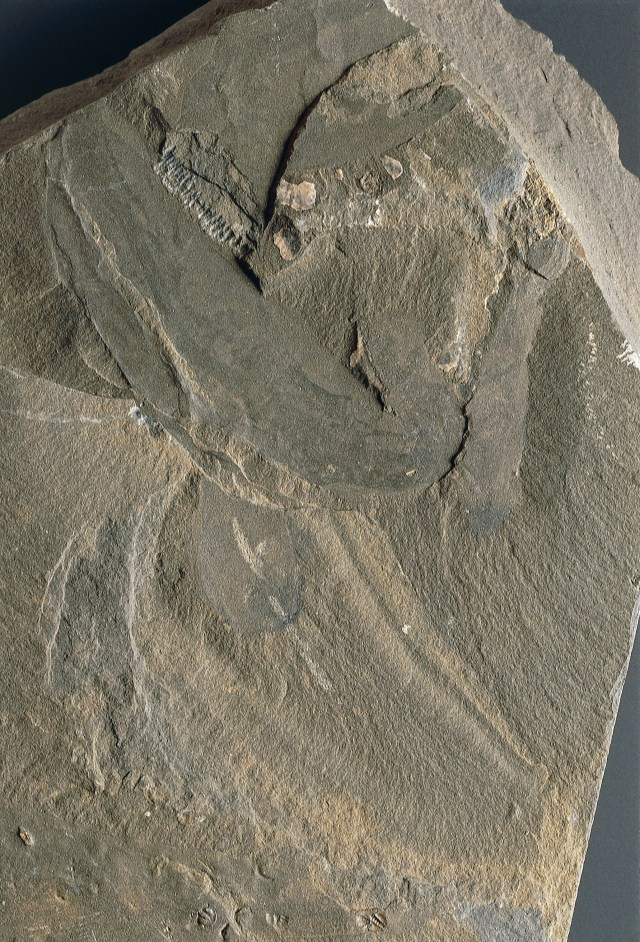 rock fossil with outline of a worm creature