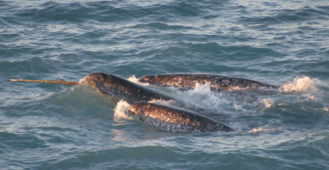 A pod of narwhals, with one tusk exposed, swimming together.