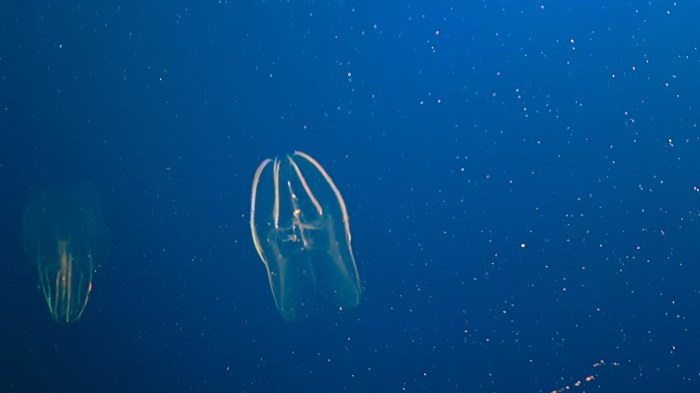 Picture of a comb jelly in an aquarium.