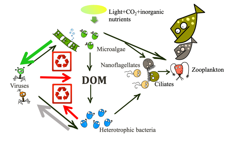 A cartoon depicting the flow of energy within a food web involving viruses, bacteria, plankton and fish.