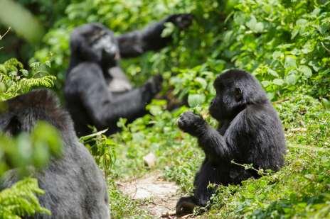 Imagen de un gorila joven junto a gorilas adultos que viven en libertad.
