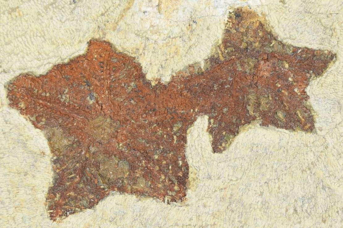 A photo of two Cantabrigiaster fossils.