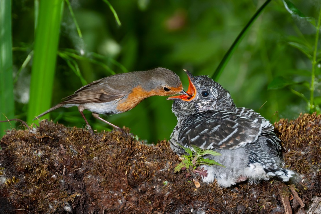 Small bird feeds much larger chick.