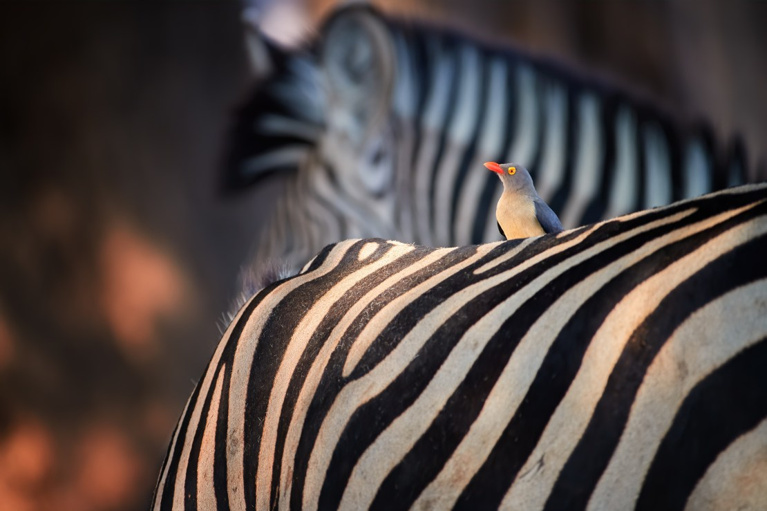 A small bird sits on a zebra's back.
