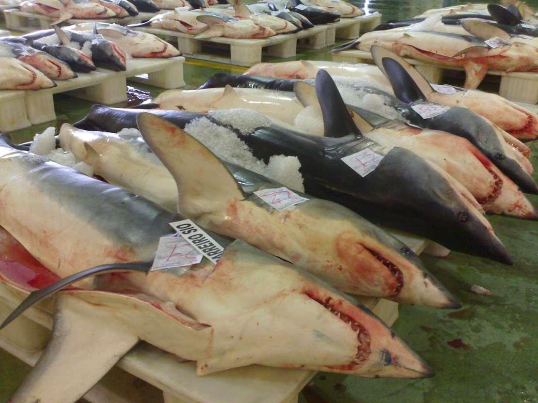dead dhortfin mako sharks for sale