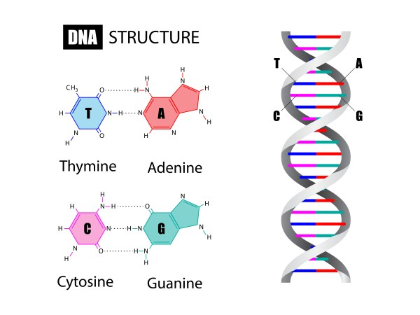 Diagram showing basic DNA structure and chemical bases.