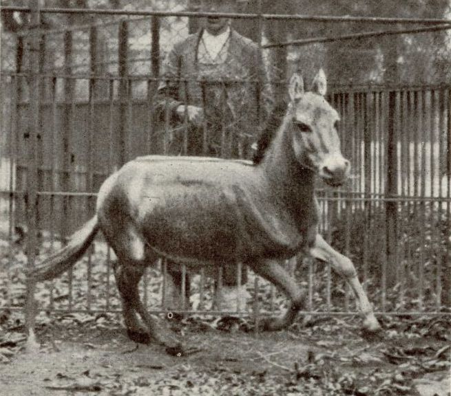 A black-and-white photograph of a donkey-like animal galloping in an enclosure.