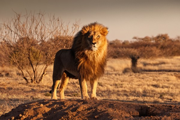 Artificial insemination in captive lions is bad news for conservation