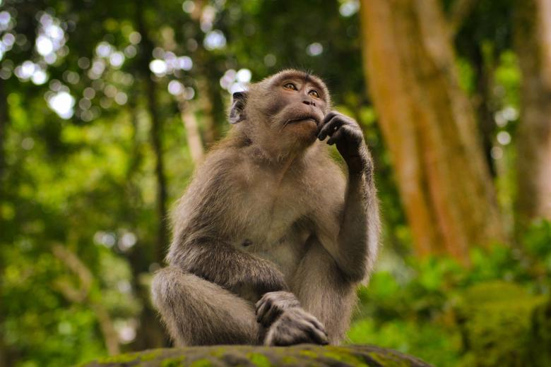 A grey monkey in Bali sits quietly and appears to contemplate a question.