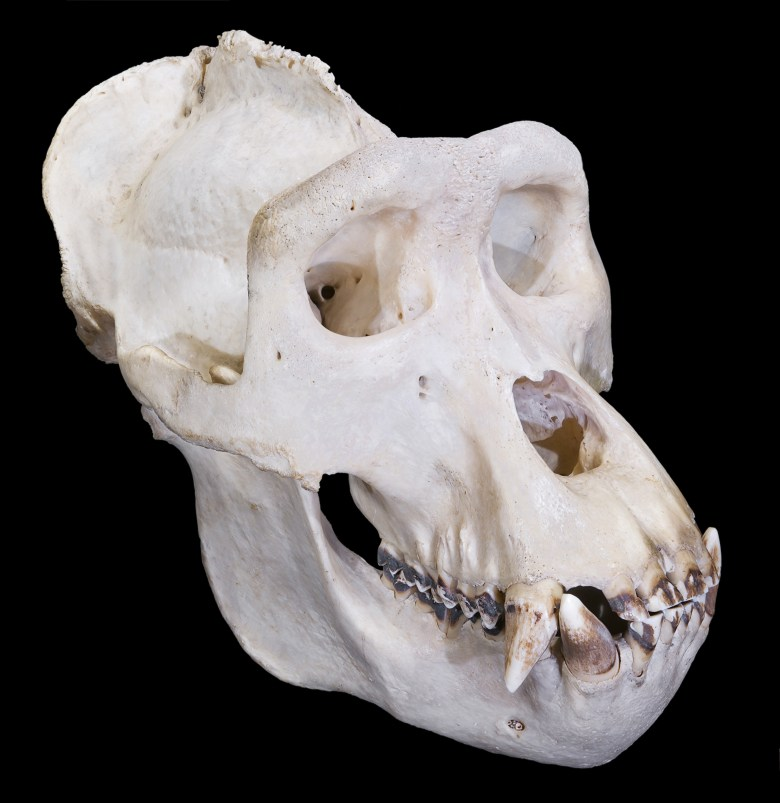 A gorilla skull showing the tall saggital crest on top.
