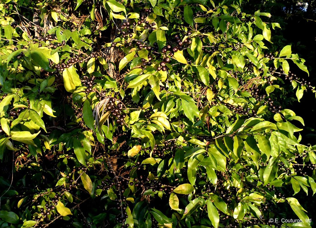 Stenophylla coffee plant growing in the wild.