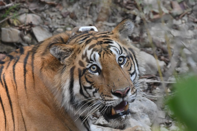Tiger with tracking collar visible on its neck.