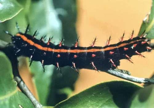 Black caterpillar