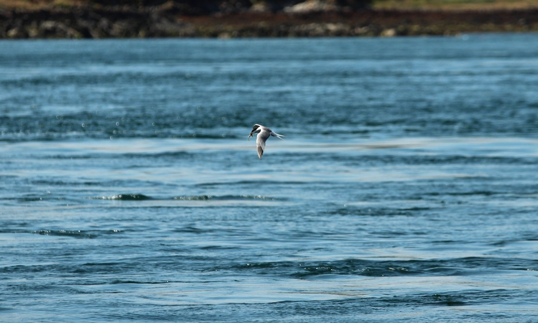 A tern with a fish in its beak, flying above the sea.