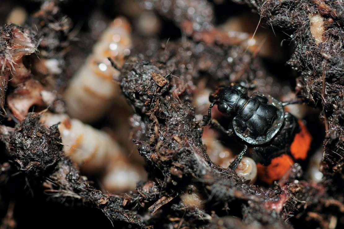 Black and orange beetle in soil amongst larvae.