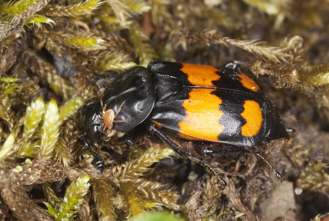 Black and orange beetle on mossy background.
