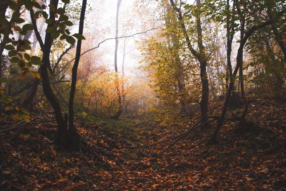 Misty woodland view.