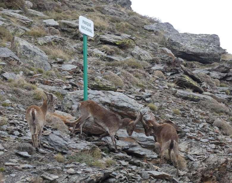 Cabras montés