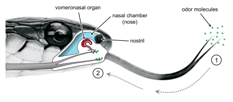 A diagram showing the location of the vomeronasal organ on a snake