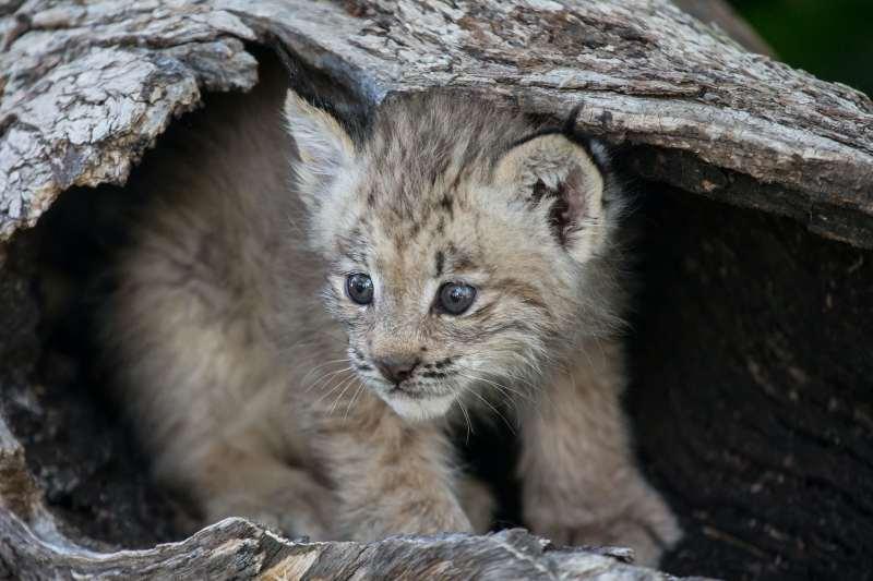 a baby lynx