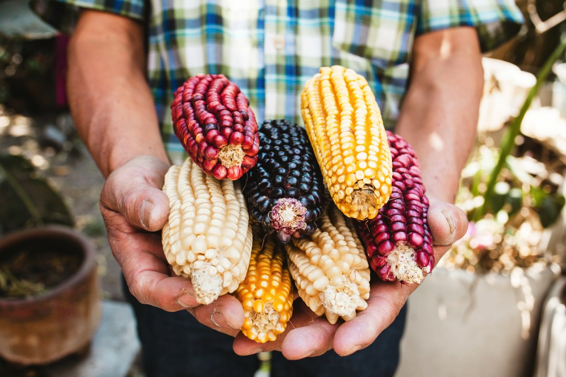 Man holds stack of different coloured corn on the cob.