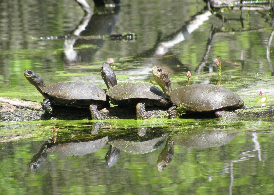 Three turtles sit end to end on a log