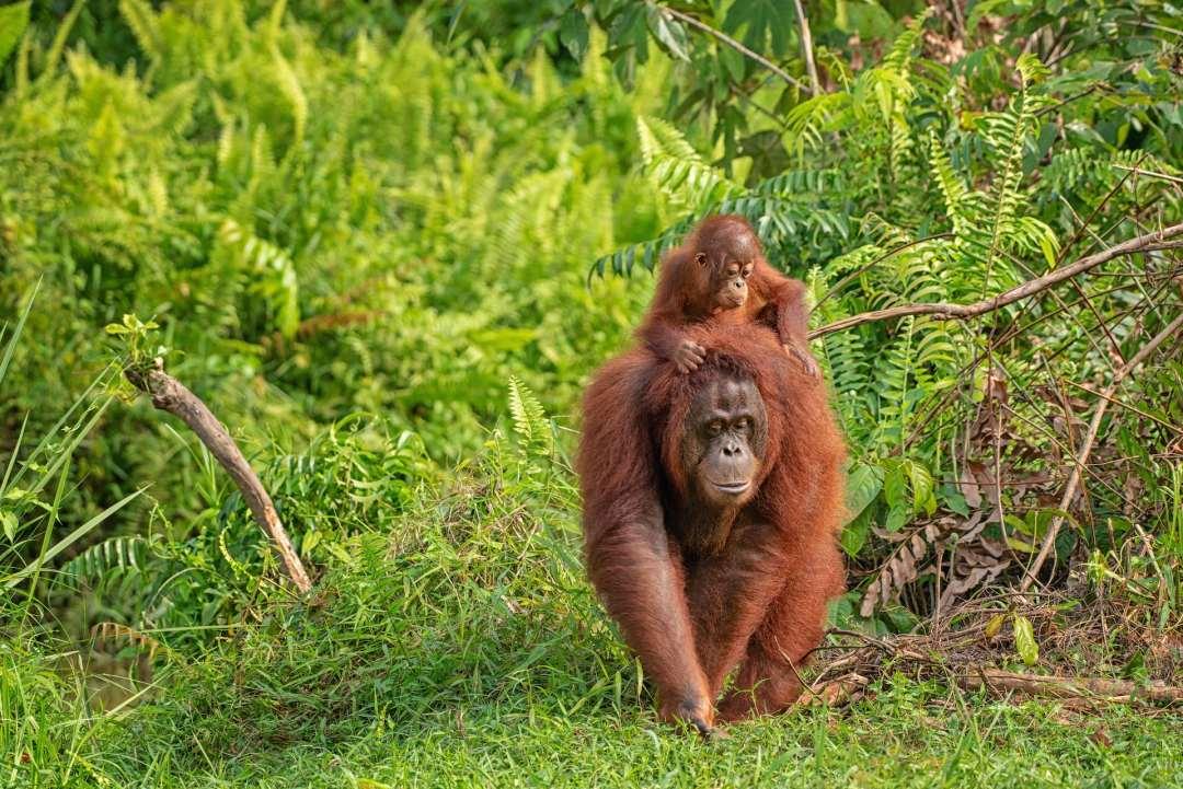 A mother orangutan carrying its baby